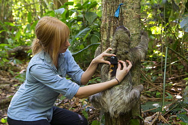 Brown-throated Three-toed Sloth (Bradypus variegatus) biologist, Rebecca Cliffe, releasing sloth wearing sloth backpack tracking device, Aviarios Sloth Sanctuary, Costa Rica  -  Suzi Eszterhas