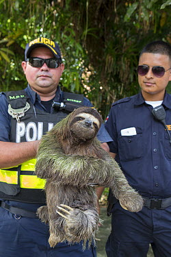 Brown-throated Three-toed Sloth (Bradypus variegatus) confiscated by police after finding it in someone's home, Aviarios Sloth Sanctuary, Costa Rica  -  Suzi Eszterhas