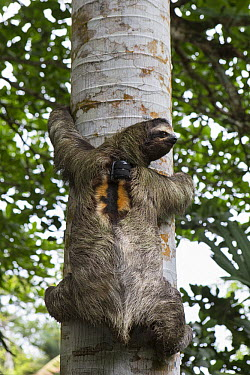Brown-throated Three-toed Sloth (Bradypus variegatus) with sloth backpack tracking device climbing tree, Aviarios Sloth Sanctuary, Costa Rica  -  Suzi Eszterhas