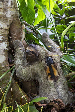 Brown-throated Three-toed Sloth (Bradypus variegatus) with sloth backpack tracking device defecating at bottom of tree, Aviarios Sloth Sanctuary, Costa Rica  -  Suzi Eszterhas