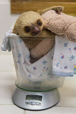 Hoffmann's Two-toed Sloth (Choloepus hoffmanni) two month old baby on scale, Aviarios Sloth Sanctuary, Costa Rica  -  Suzi Eszterhas