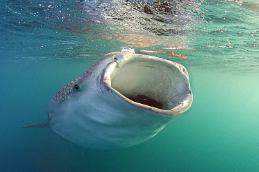 Whale Shark (Rhincodon typus) filter feeding, Gulf of Tadjoura, Indian Ocean  -  Peter Verhoog/ Buiten-beeld