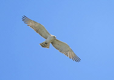 Short-toed Snake-Eagle (Circaetus gallicus) flying, Netherlands  -  Arno ten Hoeve/ Buiten-beeld