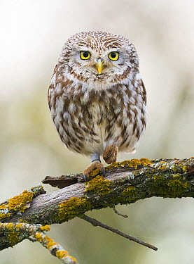 Little Owl (Athene noctua), Netherlands  -  Martin Steenhaut/ Buiten-beeld