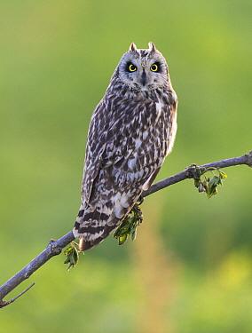 Short-eared Owl (Asio flammeus), Hungary  -  Martin Steenhaut/ Buiten-beeld