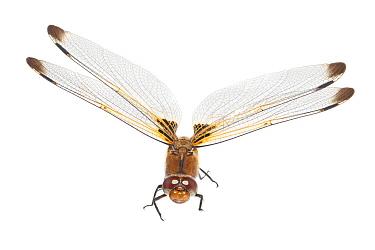 Scarce Chaser (Libellula fulva) dragonfly, Poland  -  Jelger Herder/ Buiten-beeld
