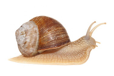 Edible Snail (Helix pomatia), France  -  Jelger Herder/ Buiten-beeld
