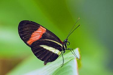 Crimson-patched Longwing (Heliconius erato) butterfly, Rincon De La Vieja National Park, Costa Rica  -  Chris Stenger/ Buiten-beeld