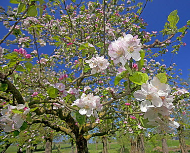 Cultivated Apple (Malus domestica) tree blooming, Netherlands  -  Jelger Herder/ Buiten-beeld
