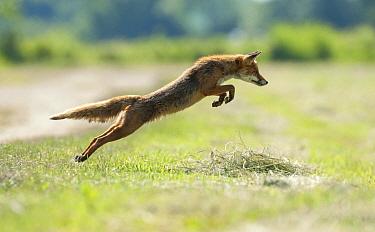 Red Fox (Vulpes vulpes) hunting in meadow, Lorraine, France  -  Karl Van Ginderdeuren/ Buiten-be