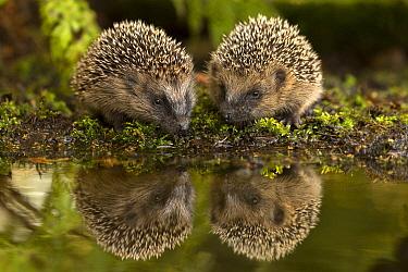 Brown-breasted Hedgehog (Erinaceus europaeus) pair near water, Europe  -  Jan Dolfing/ Buiten-beeld