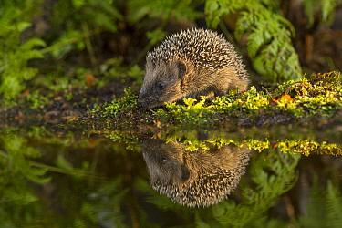 Brown-breasted Hedgehog (Erinaceus europaeus) sub-adult near water, Europe  -  Jan Dolfing/ Buiten-beeld