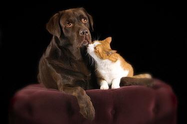 Domestic Dog (Canis familiaris) and Domestic Cat (Felis catus) friends, Netherlands  -  Bert Jonkhans/ Buiteen-build