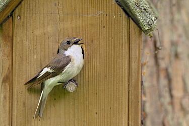 European Pied Flycatcher (Ficedula hypoleuca) male calling at nest box, Netherlands  -  Michel Geven/ Buiten-beeld