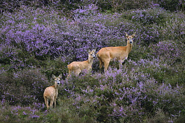 Western Roe Deer (Capreolus capreolus) doe and fawns, Veluwezoom National Park, Netherlands  -  Michel Geven/ Buiten-beeld