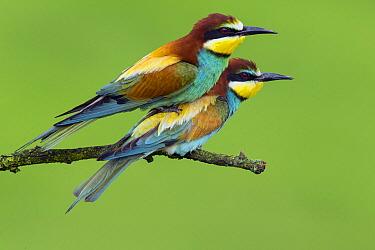European Bee-eater (Merops apiaster) pair mating, Bulgaria  -  Otto Plantema/ Buiten-beeld