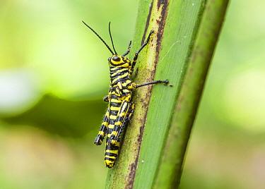 Grasshopper (Tropidacris cristata) nymph mimics a wasp, Costa Rica  -  Chris Stenger/ Buiten-beeld