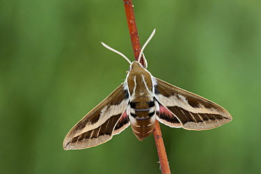 Hawk Moth (Hyles tithymali), Spain  -  Klaas van Haeringen/ Buiten-beel