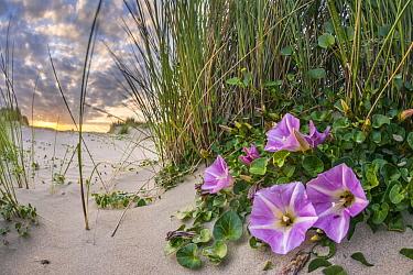 Seashore False Bindweed (Calystegia soldanella) flowering on beach, Netherlands  -  Nico van Kappel/ Buiten-beeld