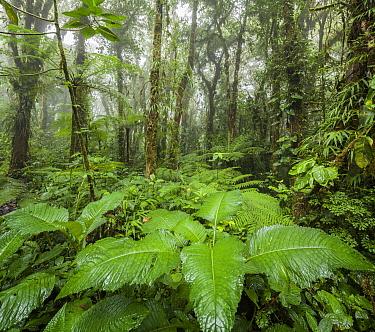 Cloud forest, Santa Elena Peninsula, Costa Rica  -  Chris Stenger/ Buiten-beeld