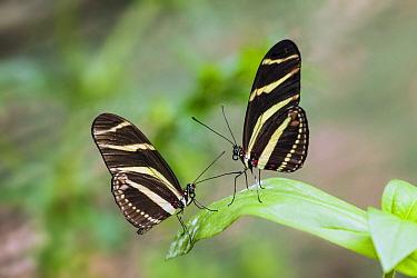 Zebra Butterfly (Heliconius charitonius) pair, Rincon De La Vieja National Park, Costa Rica  -  Chris Stenger/ Buiten-beeld