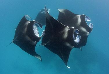 Manta Ray (Manta birostris) group, Baa Atoll, Maldives  -  Peter Verhoog/ Buiten-beeld