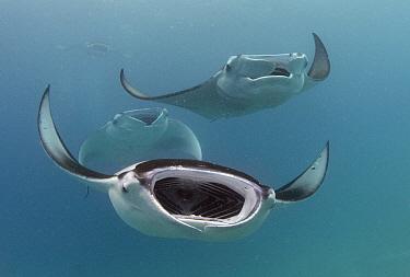 Manta Ray (Manta birostris) trio filter feeding, Baa Atoll, Maldives  -  Peter Verhoog/ Buiten-beeld