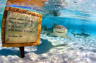 Lemon Shark (Negaprion brevirostris) group swimming in shallows near sign, Aldabra, Seychelles  -  Peter Verhoog/ Buiten-beeld