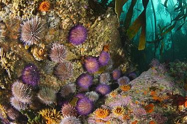 Purple Sea Urchin (Strongylocentrotus purpuratus) group and Crinoid (Echinoidea), False Bay, South Africa  -  Peter Verhoog/ Buiten-beeld