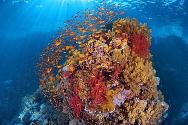Fish schooling around coral reef, Red Sea, Egypt  -  Peter Verhoog/ Buiten-beeld