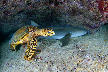 Hawksbill Sea Turtle (Eretmochelys imbricata) and Tawny Nurse Shark (Nebrius ferrugineus), Seychelles  -  Peter Verhoog/ Buiten-beeld