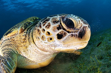 Green Sea Turtle (Chelonia mydas) in sea grass, Egypt  -  Peter Verhoog/ Buiten-beeld