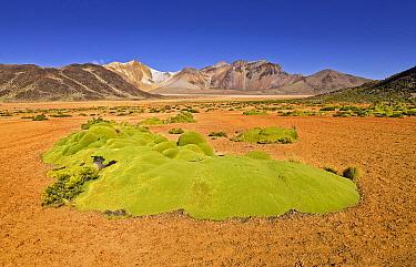 Yareta (Azorella compacta), Cerro Cosapilla Volcano, Lauca National Park, Chile  -  Chris Stenger/ Buiten-beeld