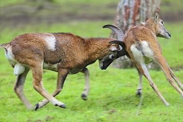 Mouflon (Ovis orientalis) males fighting, Europe  -  Marcel Bruin/ Buiten-beeld