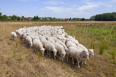 Domestic Sheep (Ovis aries) flock, Deventer, Netherlands  -  Sjon Heijenga/ Buiten-beeld