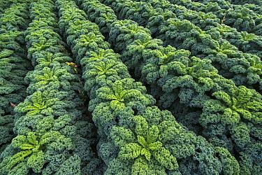Kale (Brassica oleracea) field, Netherlands  -  Nico van Kappel/ Buiten-beeld