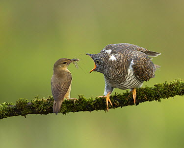Common Cuckoo (Cuculus canorus) chick being fed by Eurasian Reed-Warbler (Acrocephalus scirpaceus), Amsterdam, Netherlands  -  Ton Dopp/ Buiten-beeld