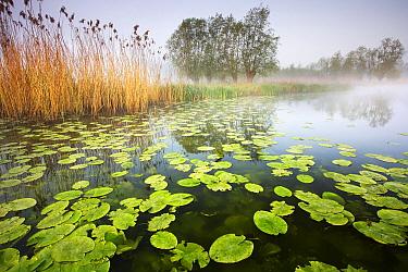 Wetland with waterlilies and phragmites, Heurnemeersen, Belgium  -  Wouter Pattyn/ Buiten-beeld