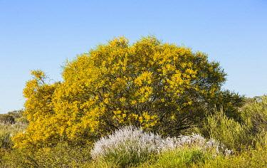 Bardi Bush (Acacia victoriae) flowering, Kalbarri National Park, Australia  -  Chris Stenger/ Buiten-beeld