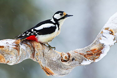 Great Spotted Woodpecker (Dendrocopos major) in winter, Finland  -  Otto Plantema/ Buiten-beeld