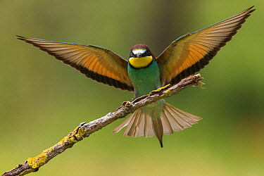 European Bee-eater (Merops apiaster) landing, Montaperti, Italy  -  Daniele Occhiato/ Buiten-beeld