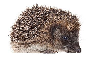 Brown-breasted Hedgehog (Erinaceus europaeus), France  -  Jelger Herder/ Buiten-beeld