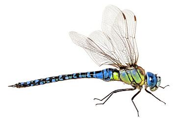 Southern Migrant Hawker (Aeshna affinis) dragonfly, France  -  Jelger Herder/ Buiten-beeld