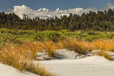 Pingao Grass (Desmoschoenus spiralis) in sand dunes, Mount Tasman, Mount Cook, Westland Tai Poutini National Park, New Zealand  -  Colin Monteath/ Hedgehog House