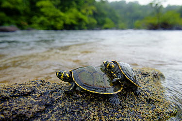 South American River Turtle (Podocnemis expansa) hatchlings in river, Oyapock River, Brazil  -  Luciano Candisani