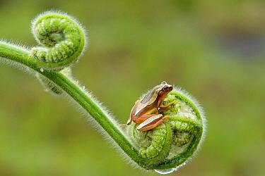 Treefrog (Dendropsophus elegans) on fern, Atlantic Forest, Brazil  -  Luciano Candisani
