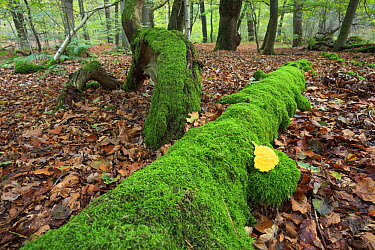 Slime Mold (Fuligo septica) on rotting wood with moss in beech forest, Netherlands  -  Heike Odermatt