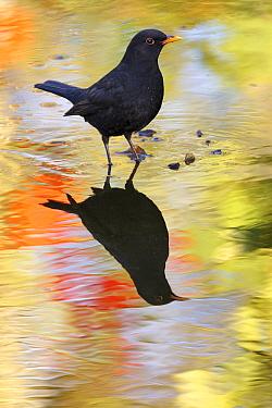 Eurasian Blackbird (Turdus merula) male in water, Netherlands  -  Heike Odermatt