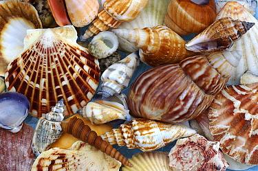 Sea shell arrangement  -  Jan Vermeer