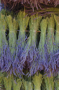 Lavender (Lavandula sp) plants drying  -  Jan Vermeer